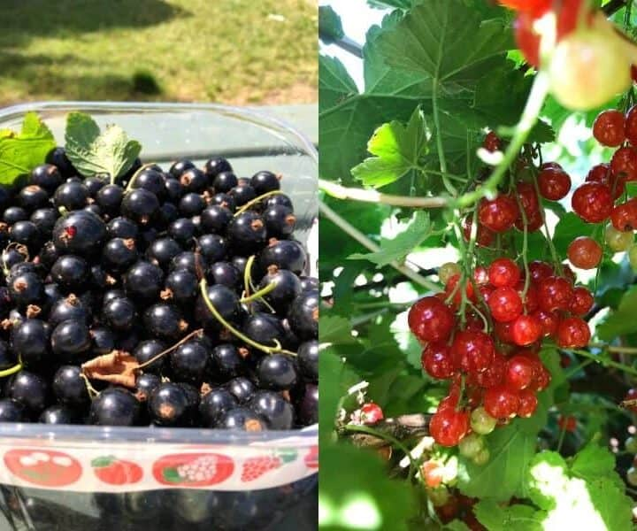Blackcurrants and redcurrant